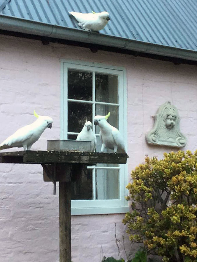 Bickleigh Vale, Downderry cockatoos, 22 June 2019_3